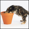 goshawk: a tabby kitten sticks its head inside a terracotta pot (what's in HERE?; curious)