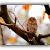 solosundance: (autumn owl)