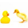 mesmiranda: (quack)