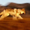 koryou: (Nature - Wolf running)