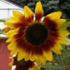 library_mama: (sunflower)