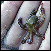 feathercircle: Photo of hand holding tiny octopus (the world is beautiful)