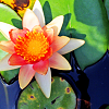ladyofshadow: (Water lily)