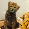 linaelyn: (lil' Cheetah)