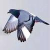 morphbox: (pigeon)