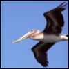 trinaest: pelican (Default)