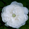 mme_hardy: White rose (rose)