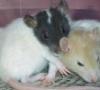 cereus: 2 rats curled up together (rat)