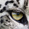 mountainghost: (snow leopard eye)