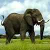 morphbox: (elephant)