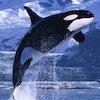 morphbox: (orca)