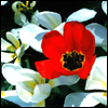 recessional: a red poppy among white flowers (personal; larks still bravely singing)