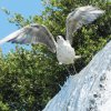 highlyeccentric: A seagull lifting into flight, skimming the cascade (Castle Hill, Nice) (Seagull)