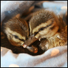 arabesque: Two ducklings cuddled together in a nest of blankets (bill bill coo coo kiss kiss)
