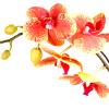 nightdog_barks: (Flower Moth Orchid)