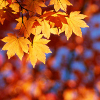 wenchpixie: stock icon autumn leaves gold (Default)