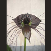 batflower: This is a terrifying and ferocious plant. (batflower)