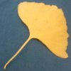 kaberett: Yellow gingko leaf against teal background (gingko)