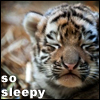 "telophase: Amur tiger cub with closed eyes, caption: ""so sleepy"" (Amur tiger cub - sleepy!)"