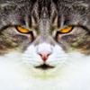 jules_thorpe: A grey and white cat with very yellow eyes. (cat)