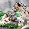 eriktrips: two snow leopards being friendly (snowLeopards)