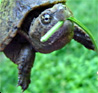 vass: Small turtle with green leef in its mouth (Eat your greens)