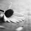 ephemerall: (daisy)