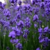 juniper_juice: (Purple flowers)