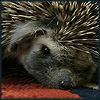 klgaffney: close up of an exhausted hedgehog falling asleep on the carpet. (my brain is tired now.)