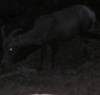 zing_och: photo of a goat in near-darkness- the eye is glowing (goat of darkness)