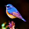 ernads: beauty (Bird of paradise)