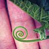 aquaprofunda: The tendril of a squash vine (squash tendril)