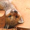 telaryn: (Fox Icon)