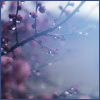 silveraspen: tree branch with pink flowers seen through fog and mist (blossoms in a misty rain)