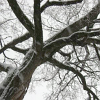 cat_77: old tree in winter (snow tree)