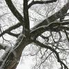 cat_77: old tree in winter (snow tree)