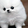 ellyd: tiny, angry-looking cotton fluff puppy. (ph; anselm robbins's patronus.)