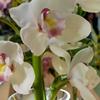 litsasecret: White orchids (flowers)