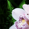 pensnest: close up of very pale orchid (floral orchid palest pink)