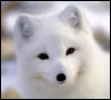 taitfox: Its an arctic fox's head staring at the screen :D (Arctic fox!) (Default)