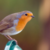 starfleet: A robin staring into the distance as if something over there is VERY INTERESTING (The Vigilante - Curiosity)
