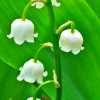 aprilvalentine: (lilies of the valley)