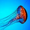 meloukhia: A jellyfish, jetting by. (Jellyfish)