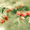zanzando: A branch of yew with berries. (Eibe)