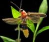lightningbug: firefly (pic#697537)