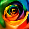 particoloured: multicoloured rose (all // rose)
