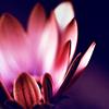 vi: (lotus)