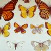sheisnature: (butterflies)