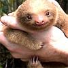 charmian: a baby sloth (sloth)