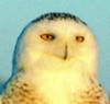charmian: a snowy owl (Default)
